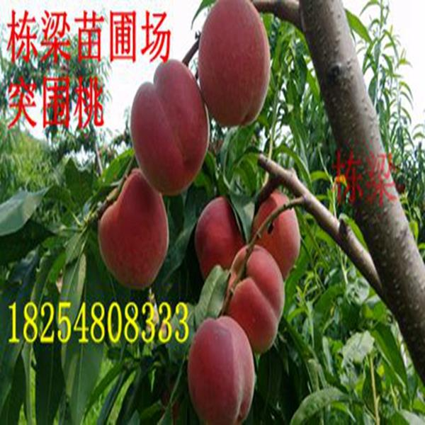 泗水金秋红密桃树种苗批发中油4号桃树幼苗